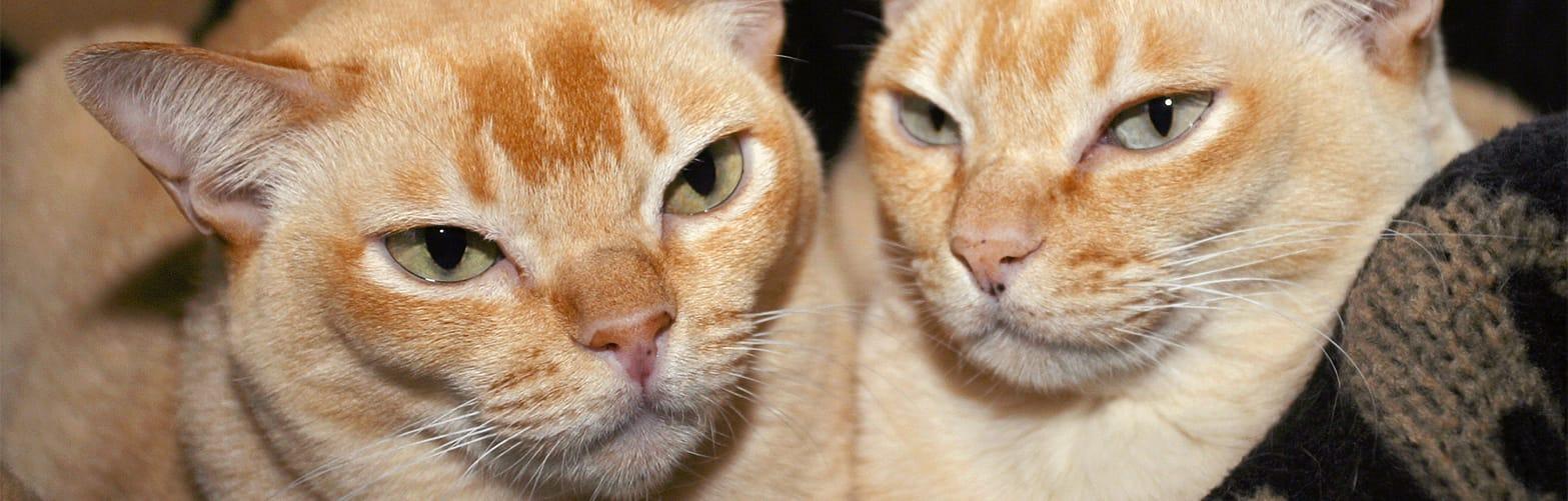 27d Red Burmese Cat Burmese Cat Club