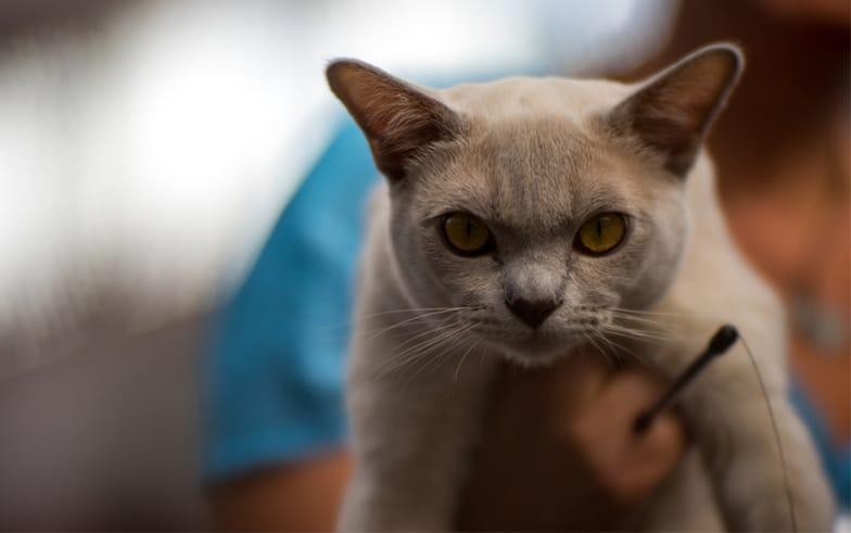 Blue Burmese Burmese Cat Club