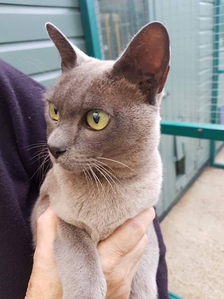 Peterborough Cat Rescue Blue Burmese 1 Burmese Cat Club