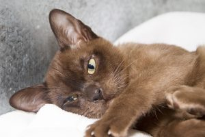 Burmese Cat Club show 2018 brown