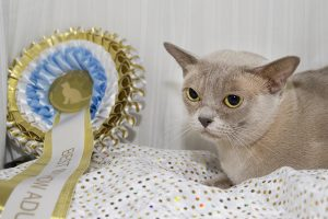 Burmese Cat Club show 2018 lilac