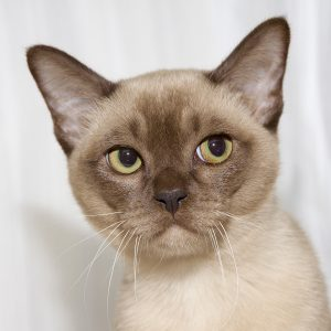 Burmese Cat Club show 2018 chocolate