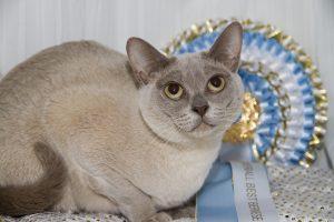 Burmese Cat Club show 2018 lilac