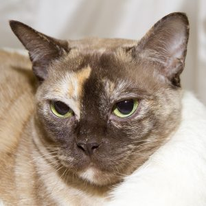 Burmese Cat Club show 2018 tortie