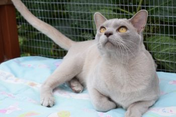 Home - The Burmese Cat Club - Affiliated to the GCCF