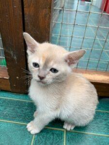 Burmese Kittens for Sale - The Burmese Cat Club