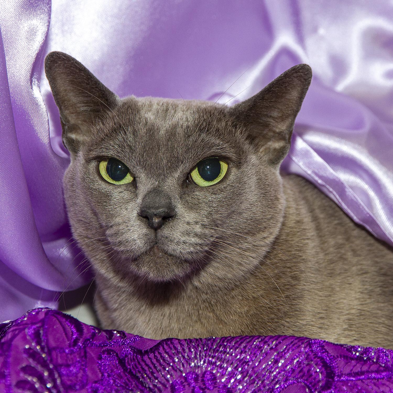 Bcc Show Highlights 2020 Burmese Cat Club